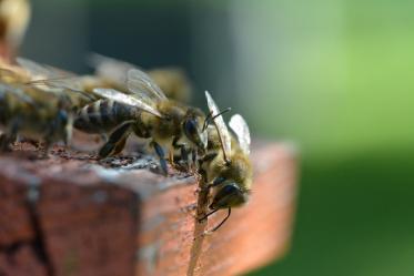 Waldsassen. Bienengesumm