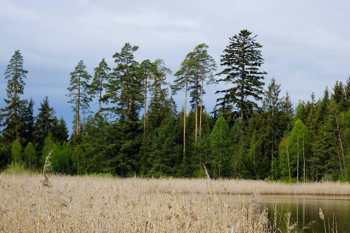Kiefer, Wald-